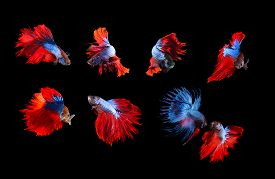 pic of fighter-fish  - mixed of blue and red siamese fighting fish betta full body under water isolated black background - JPG