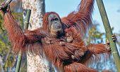 foto of orangutan  - Female orangutan with baby in a zoo - JPG
