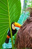 pic of toucan  -  Large bird with bright plumage and a huge yellow beak - JPG