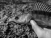 image of caught  - Freshly caught zander in the hands of the fisherman - JPG