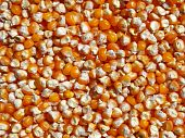 Grain corn maize food corn seed background