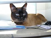 pic of siamese  - siamese cat day home domestic animals life - JPG