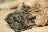foto of dog eye  - red dog bullmastiff - JPG