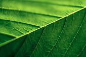 picture of ganja  - Close up of a green Cannabis leaf - JPG