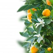 picture of tangerine-tree  - Tangerine tree branch with fruits and  flowers   on white background - JPG