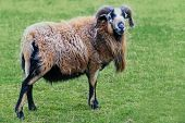 picture of ram  - ram with horns and long brown and black fur on the pasture - JPG