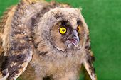 stock photo of angry bird  - young angry bird owl on green background - JPG