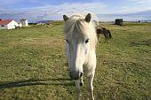 weiße isländischer pony