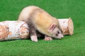stock photo of ferrets  - young animal rodent ferret on a green background - JPG