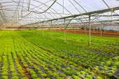 stock photo of greenhouse  - Hot greenhouse full of green small lettuce heads - JPG