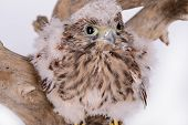 pic of hawk  - young chick hawk sitting on a wooden driftwood on a white background - JPG