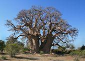 Chapman Baobob