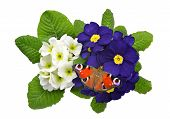 foto of primrose  - primrose with butterfly isolated on white background - JPG