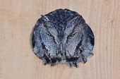 picture of screech-owl  - Evil Looking Western Screech - JPG