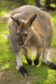 picture of wallabies  - Portrait of a cute wallaby in the nature - JPG