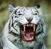 stock photo of dread head  - he grin of a white bengal tiger - JPG