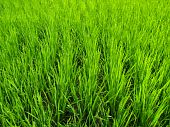 Rice / green paddy rice field
