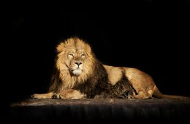 image of lion  - The dreamy look of a lying Asian lion isolated on black background - JPG
