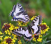 image of sita  - butterflies - JPG