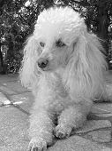 pic of standard poodle  - detail of young poodle in summer time - JPG
