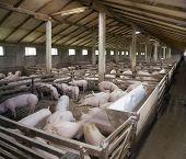 Small pig farm