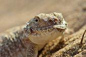 Secret Toad-headed Agama