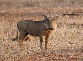 Warthog piglet standing in dry grass in the late afternoon sun