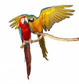 image of jungle animal  - two parrots colorful isolated in white background - JPG