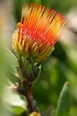 Pincushion Protea - Leucospermum
