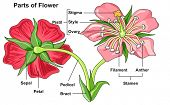 Flower Parts Diagram front and back view with all parts labeled useful for school education and bota poster