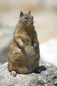 Pregnant Ground Beach Squirrel
