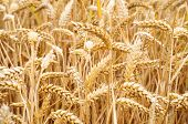 gold ear of wheat background