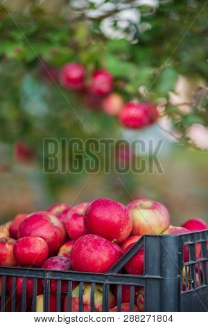 Organic Red Apples In A