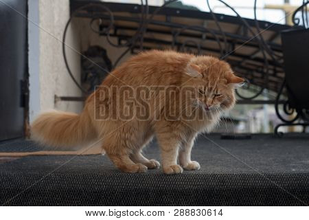 poster of Long Haired Red Cat Goes On Cat Affairs, Outdoor Cat, Red Tabby Longhair Furry Cat