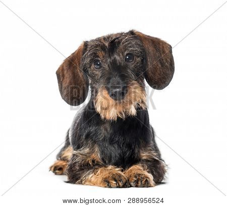 poster of Dachshund, badger dog, sausage dog, wiener dog lying in front of white background