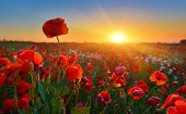 Sunrise Poppies. Rising Sun Above Field Of Red Poppies poster
