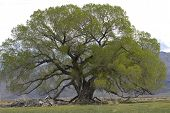Cottonwood Tree In Owns Valley, California