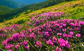 Rhododendron. Flowering Of Pink Rhododendron In Summer Mountains poster