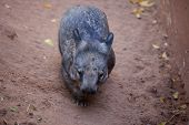 Gorgeous Burly Southern Hairy-nosed Wombat Burrows The Sand In Surrounded Of Yellow Leaves. poster