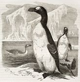 Great Auk old illustration (Pinguinus impennis), now extinct. Created by Kretschmer, published on Me