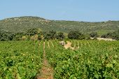 Landscape With Workers Collecting Ripe White Wine Grapes Plants On Vineyard In France, White Ripe Mu poster