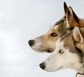 Two Dogs Close Up