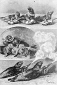 Trained  fur seals. Engraving by Specht. Published in magazine