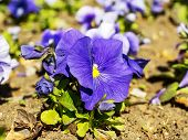 Close Up Of Blue Pansy Flowers On An Outdoors Flowerbed On A Sunny Spring Day. Spring Bloom Flowers  poster