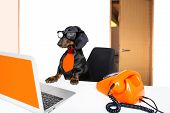 Sausage Dachshund Dog With Glasses As Secretary Or Operator With Red Old  Dial Telephone Or Retro Cl poster