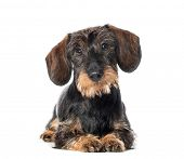 Dachshund, badger dog, sausage dog, wiener dog lying in front of white background poster