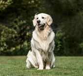 Golden Retriever, 2 years old, in park poster