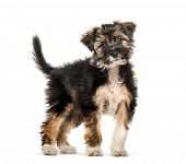 Cross breed puppy, 5 months old, in front of white background poster
