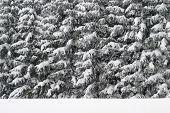 Winter Forest Texture