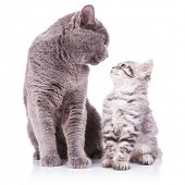 beautiful portrait of an adult english cat and a kitten looking deep into eachother's eyes with obvious love between them, sitting on a white background